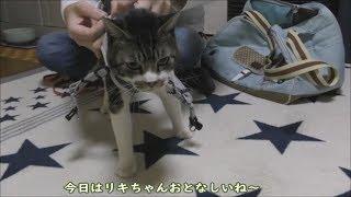 パパと熾烈な戦いを繰り広げる猫☆キャリーバッグにだけは入りたくない猫リキちゃんの必死の抵抗☆【リキちゃんねる 猫動画】Cat video キジトラ猫との暮らし thumbnail