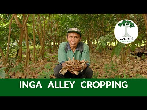 Inga Alley Cropping - Climate Smart Farming - Ya'axché Conservation Trust, Belize