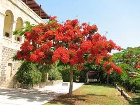 Beautiful royal poinciana flamboyan tree in mesa for Arboles de crecimiento rapido para sombra