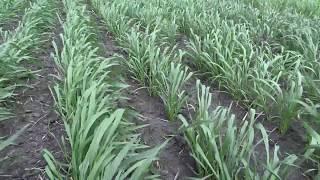 видео Выращивание яровой пшеницы