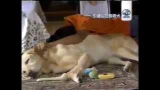 引退した盲導犬のその後・・・リタイア犬ボランティアが不足している現状 thumbnail