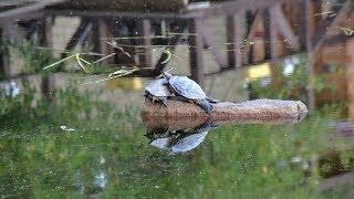 Шарташские черепахи на грани вымирания.
