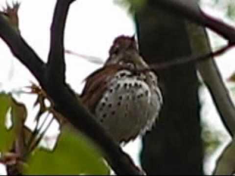 Wood Thrush singing song close-up