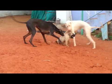 Caravan hound puppy playing