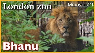 Bhanu the Lion ,male 8 years old, at London zoo. ロンドン動物園のラ...