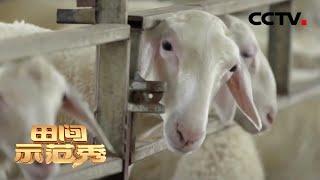 《田间示范秀》养羊养猪 各有诀窍 20200414 | CCTV农业