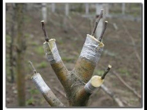когда можно прививать яблони