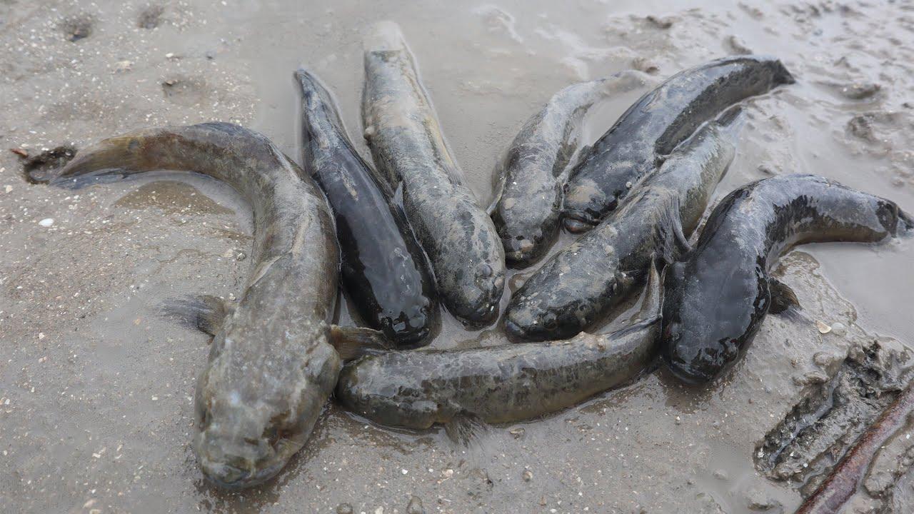 赶海摸中群鱼洞,十多条黑鱼四处乱窜,渔妹一把抓几条的往桶里装