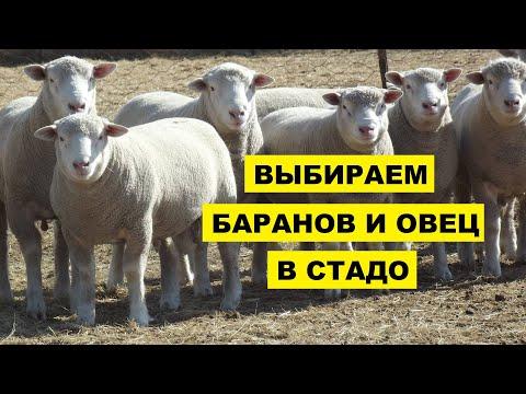Вопрос: Какая особенность есть у овец в отаре?