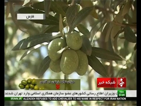 Iran Fars province, Olive & Olive oil products توليد زيتون و روغن زيتون ايران