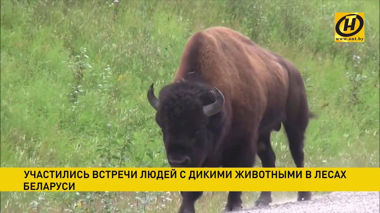 Участились встречи людей с дикими животными в лесах Беларуси