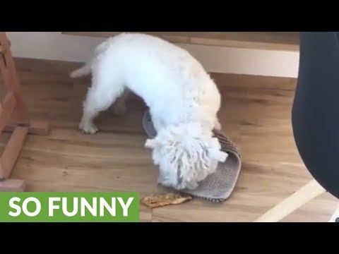 Westie tries to bury her treat under rug