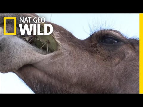 download Camels Don't Mind Spines In Their Cacti | Nat Geo Wild