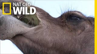 Camels Don't Mind Spines In Their Cacti | Nat Geo Wild