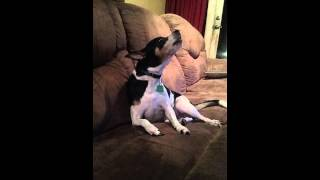 Dog Sings to The Young & the Restless theme song