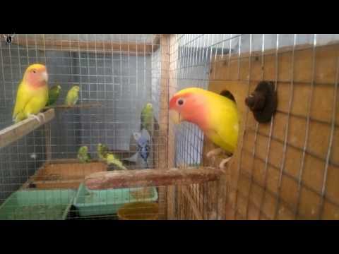 African Love bird   Breeding Setup