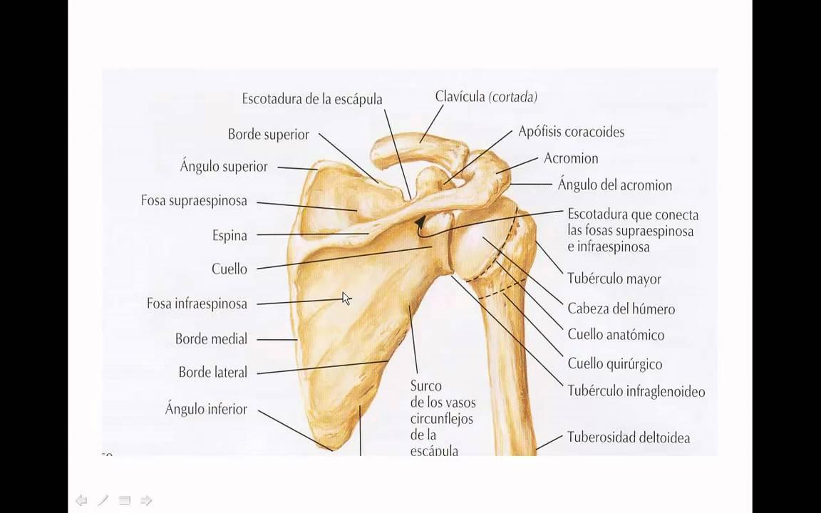 Famoso Anatomía De Las Extremidades Superiores Modelo - Anatomía de ...
