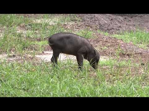 North Sulawesi Babirusa - Wildlife at Tampa