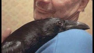 Мужчина годами кормил семью ворон, и вдруг они принесли ему необычные подарки!