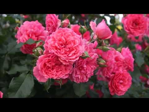 Rose Rosarium Uetersen (Розариум Ютерсен роза)