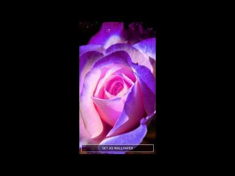 Violett Rosen Hintergrundbilder Lila Rosen Apps Bei Google Play
