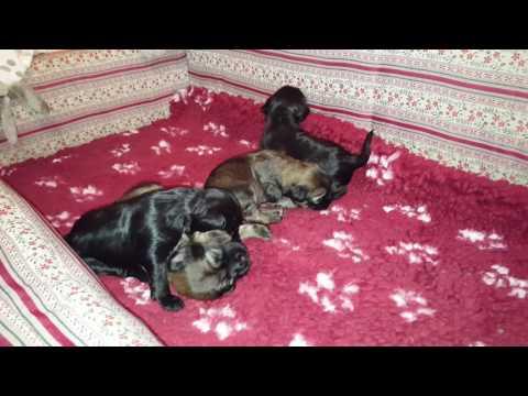 Day 17 Sems Kyi Bu Tibetan terrier puppies