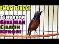 Kolibri Ninja Tembakan Paseh Burger Cililin Kenari Dan Lainnya  Mp3 - Mp4 Download