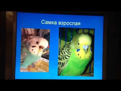 Как определить пол волнистого попугая? / Определение и практика!)