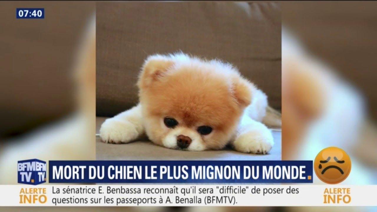 Boo Le Chien Le Plus Mignon Du Monde Est Mort Youtube