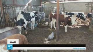 الحمى القلاعية تضرب تربية الماشية في قطاع غزة