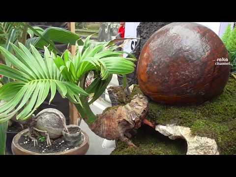 Bonsai Kelapa Unik Semarapura Bali Youtube