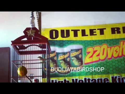 BUDI JAYA BIRD SHOP CHANNEL