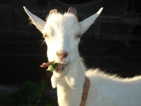 Как мы завели коз в деревне