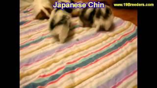 Japanese Chin, Welpen, Für, Verkauf, In, Nordrhein Westfalen, Deutschland, Bayern, Hessen