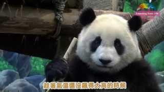 動物園桂竹筍收成-大貓熊圓仔忙嚐鮮 Giant Panda Yuan Zai Tasted Makino Bamboo Shoot