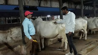 थारपारकर पशु प्रजनन केंद्र सूरतगढ़ फार्म की प्रथम दिन की नीलामी में 106000 रू में टॉप गाय बिकी है
