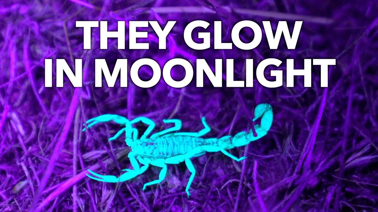 Why Are Scorpions Fluorescent?