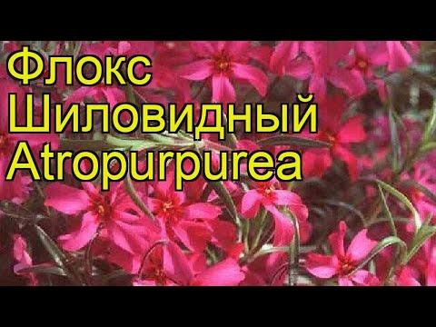Флокс шиловидный Атропурпуреа. Краткий обзор, описание характеристик phlox subulata Atropurpurea