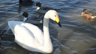 晴れた日の瓢湖、空も湖面も碧く澄んで爽やかです・・・白鳥達は殆ど田...