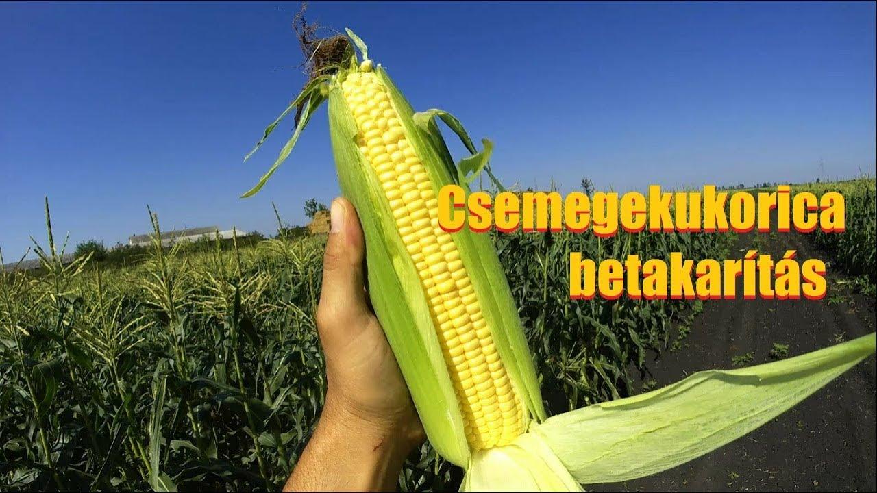 Főtt kukorica – hogyan készítsük el megfelelően? (recept)