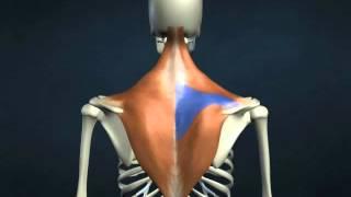 musculo trapezio