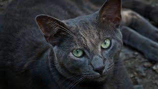 Sonido De Gato[Ronroneando][Ronronear][Felino][Nitido][Cat][Chat][Enojado][Ronroneo]