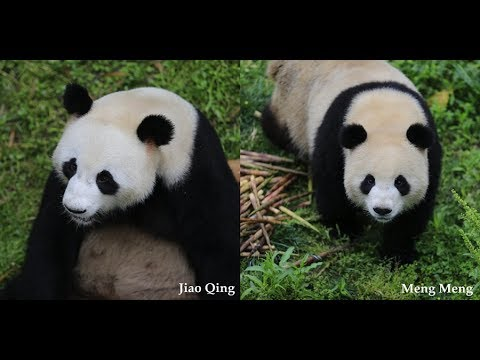 Giant pandas Jiao Qing, Meng Meng leave China for Germany