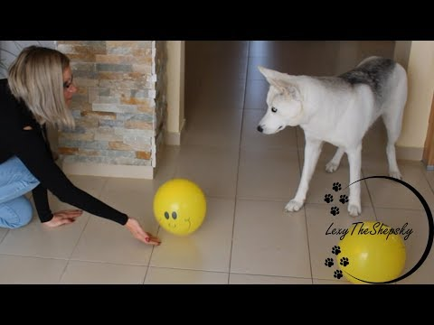 My Dog vs Balloon! | Will it Pop?
