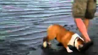 川で泥んこになって遊ぶブルドッグです。