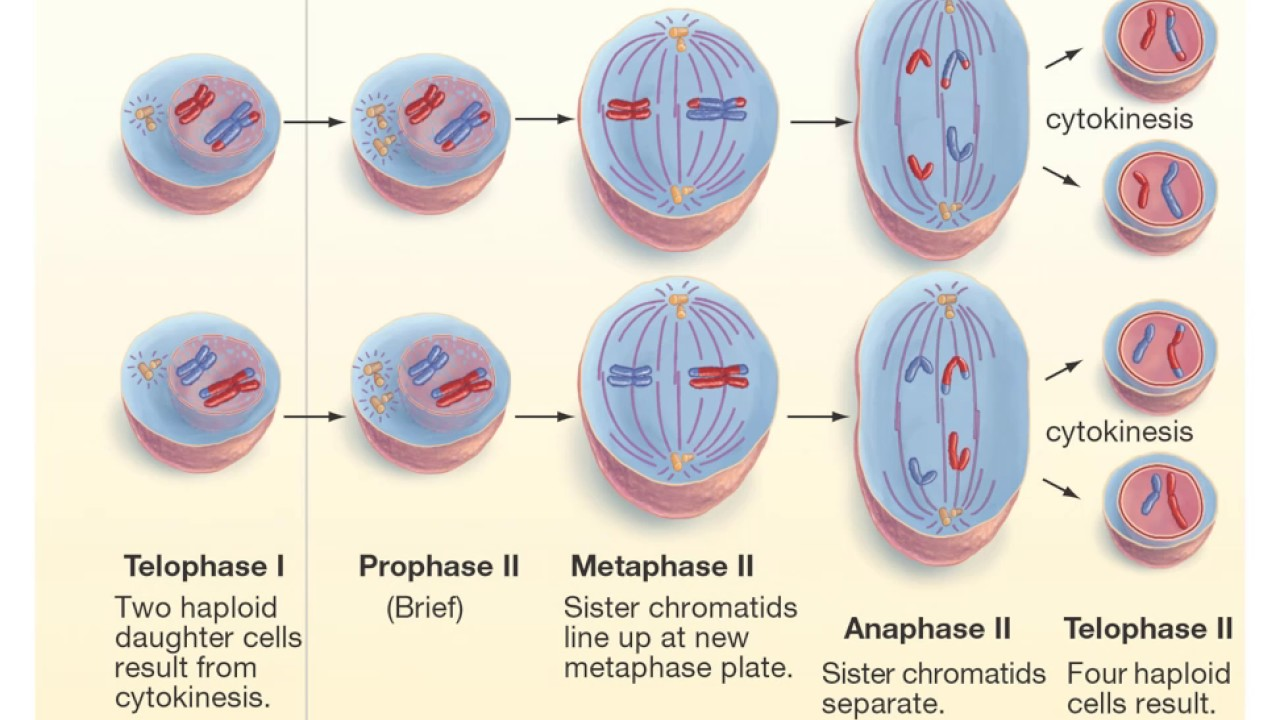 Place The Phrases In The Box To The Appropriate Column On The Table To Compare The Mitosis And
