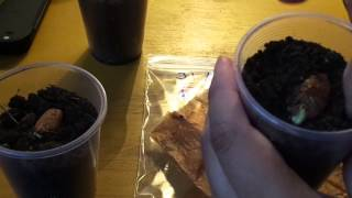 Germinar Rambutan Facil y Rapido (Nephelium lappaceum) Lichi