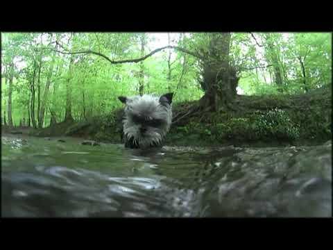 River Affenpinschers