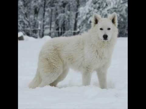 Fabulous Loup Blanc - YouTube KM97