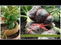 Papaya air layering method